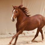 Tim Lang Running Horse Zephyr