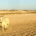 Beach Burro